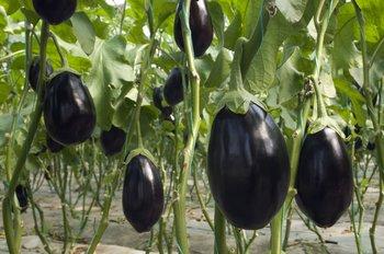 eggplant_high-9e3a98d75a44967d8596b48abccbcfaa.jpg (350×232)